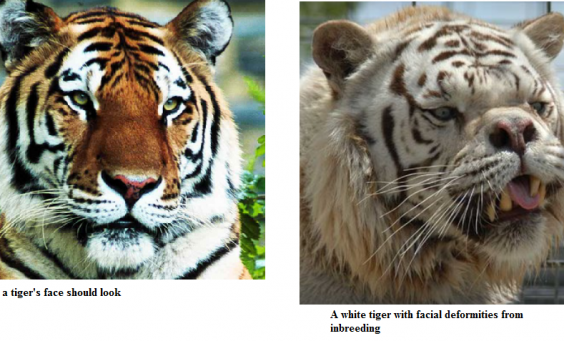 The Sad Truth About White Tigers