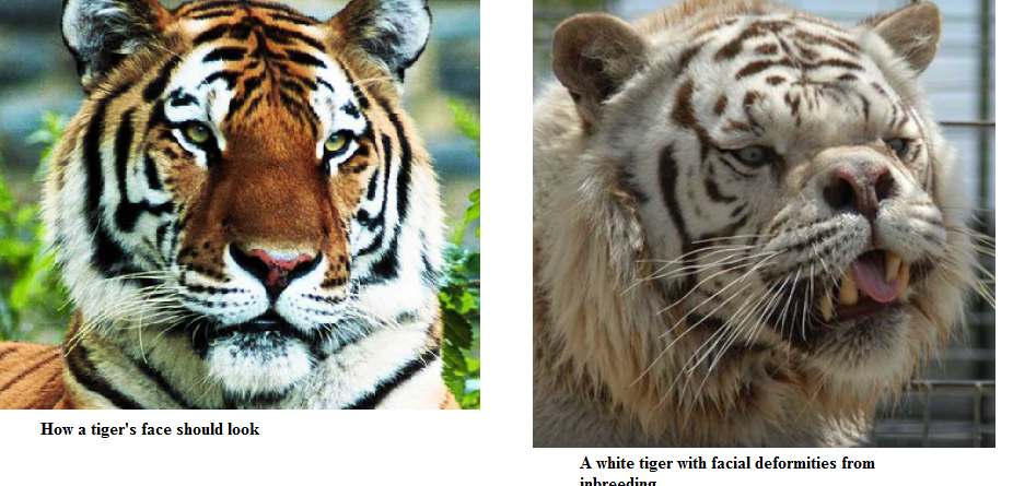 the sad truth about white tigers > mcdaniel college budapestmcdaniel